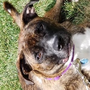 adoptable Dog in Marshall, MO named Tigger