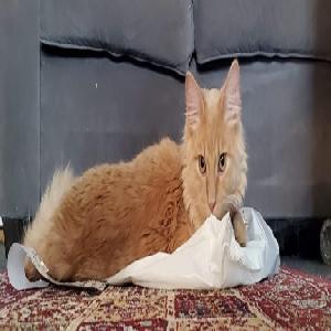 adoptable Cat in Waterbury, CT named Arlo