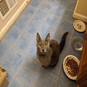 adoptable Cat in Martinsburg, WV named Macy the Gray