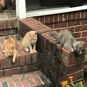 adoptable Cat in Prosperity, SC named Simba, Shadow and Tigger