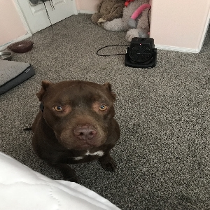 adoptable Dog in Lancaster, CA named Tank