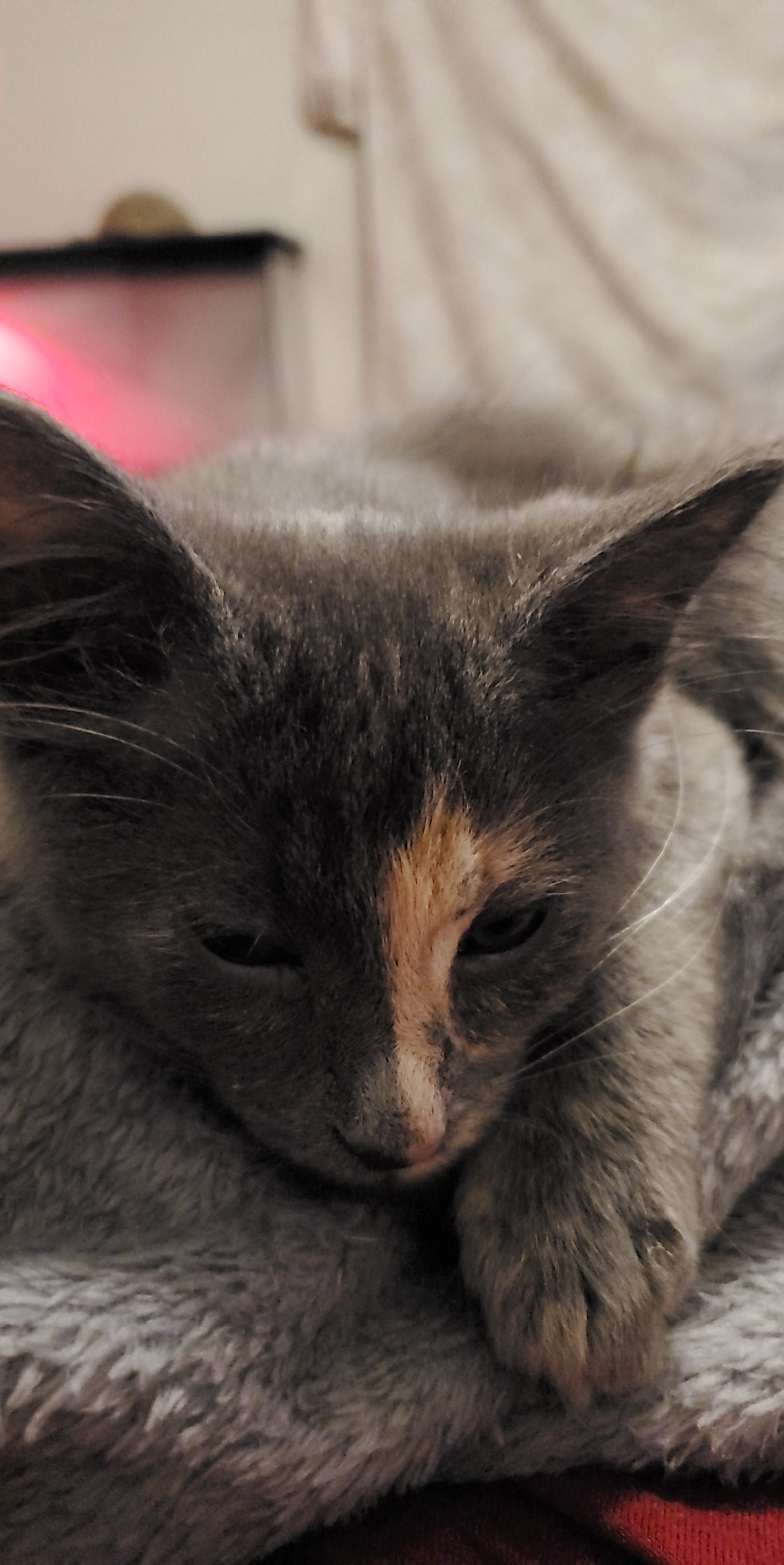adoptable Cat in Laurel,MT named Amara