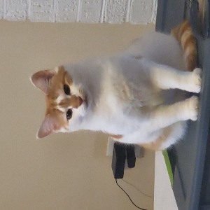 adoptable Cat in Greenville, SC named Gracie