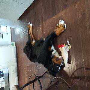 adoptable Dog in Chesapeake, VA named Hank