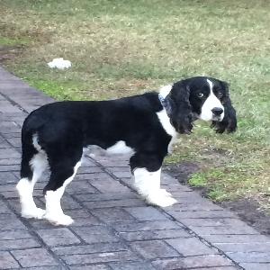 adoptable Dog in Bluffton, SC named Jackson