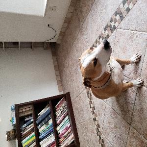 adoptable Dog in Glendale, AZ named Queenie