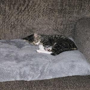 adoptable Cat in Henrico, VA named Cleo