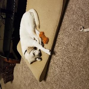 adoptable Dog in Antioch, TN named Major