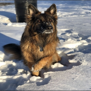 adoptable Dog in Sanford, ME named Cairo