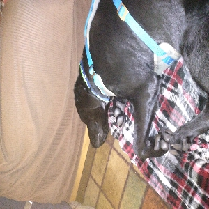 adoptable Dog in Thomaston, CT named max