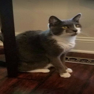 adoptable Cat in Naugatuck, CT named PATCH
