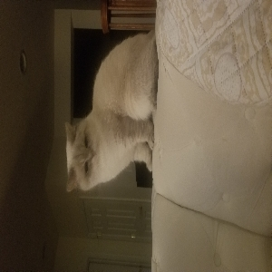 adoptable Cat in Aldie, VA named Doris