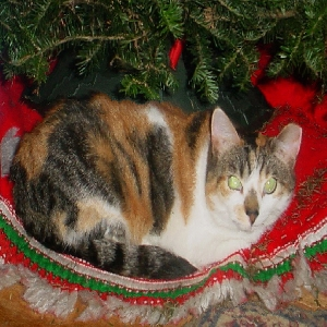 adoptable Cat in Williston Park, NY named Fluffer