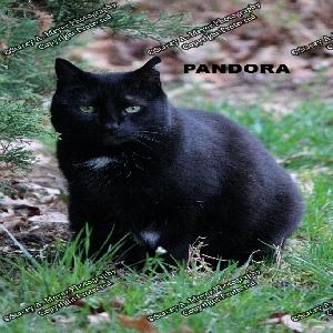 adoptable Cat in Islandia, NY named Pandora