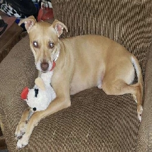adoptable Dog in Gardiner, ME named Scarlett