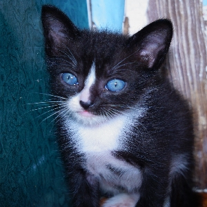 adoptable Cat in Tampa,FL named Bitty Boi