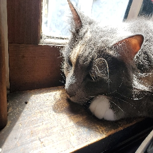 adoptable Cat in Salem, NH named Phoenix