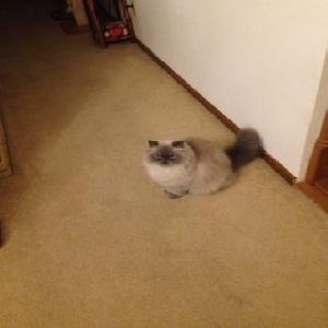 adoptable Cat in Arlington,MN named Romeo