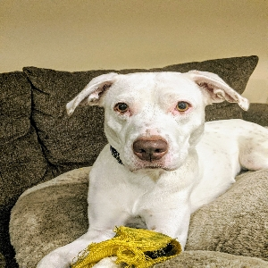 adoptable Dog in Cedar Falls, IA named Bella