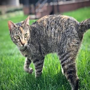 adoptable Cat in Mckinney, TX named Topaz