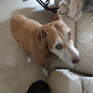 adoptable Dog in Caldwell, ID named Ginger