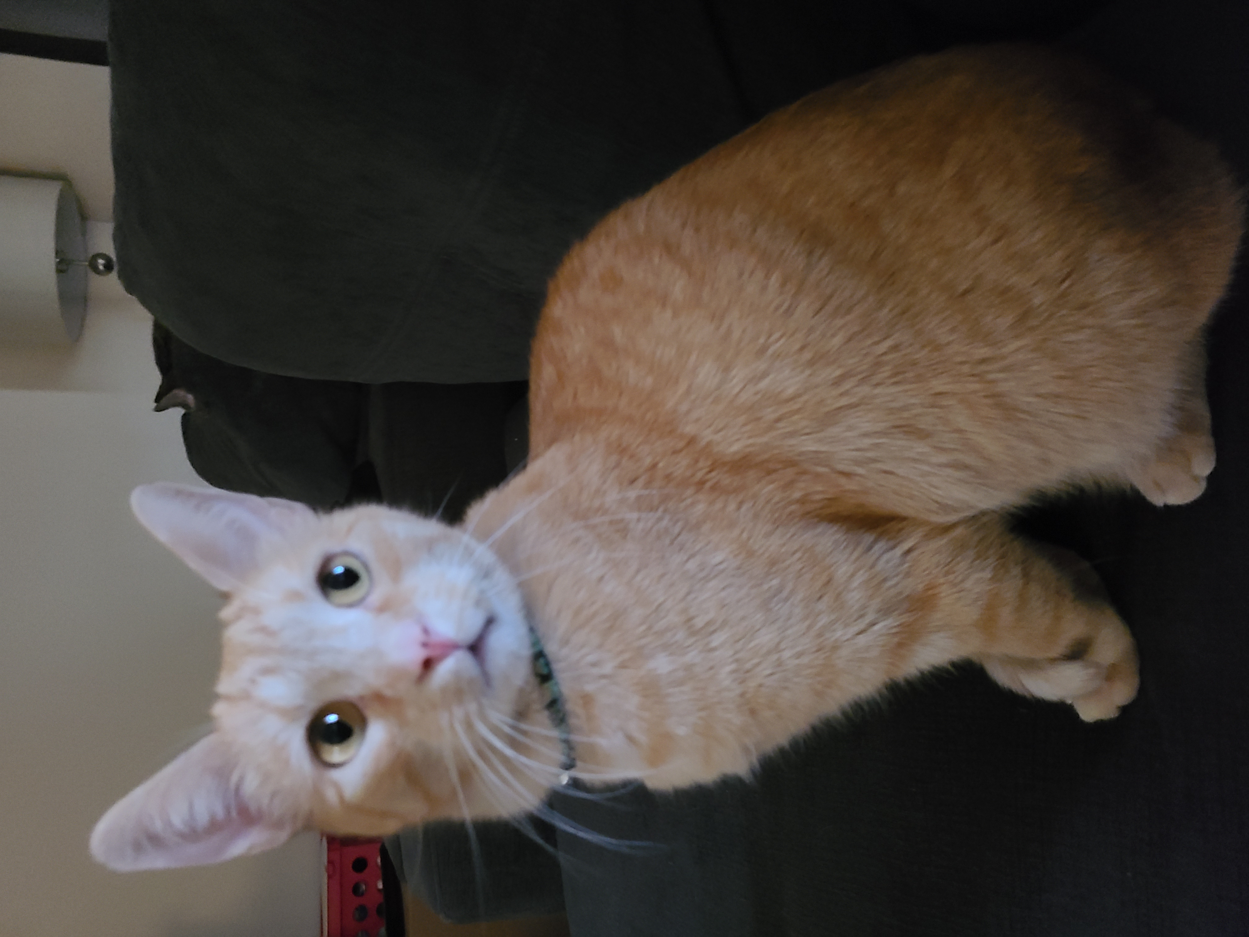 adoptable Cat in Idaho Falls,ID named Tigger