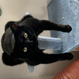 adoptable Cat in Melrose, MA named Elf