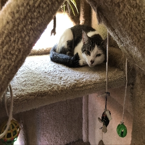 adoptable Cat in West Chester, PA named Cleopatra
