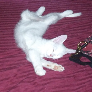 adoptable Cat in Colorado Springs, CO named Uno