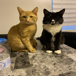 adoptable Cat in Statesville, NC named Fluffy