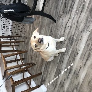 adoptable Dog in Battle Ground, WA named Shilo