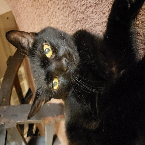 adoptable Cat in Marlette, MI named Frankie