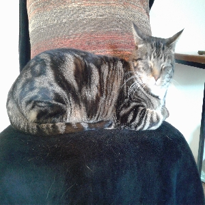 adoptable Cat in Sandy, UT named Simba