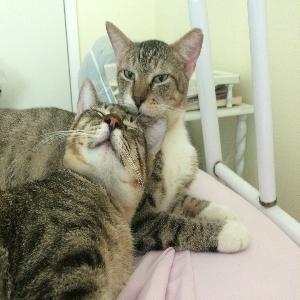 adoptable Cat in West Monroe, LA named Cuddles & Sasha (2 cats)
