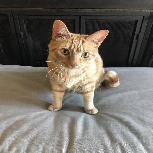 adoptable Cat in Glenside, PA named Tiger