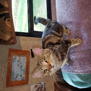 adoptable Cat in Vaughn, MT named Jay jay
