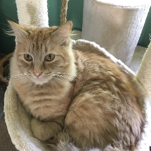 adoptable Cat in Arvada, CO named Pierre