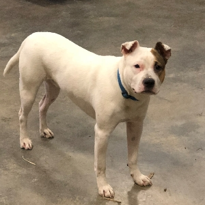 adoptable Dog in Reidsville, NC named Rebel