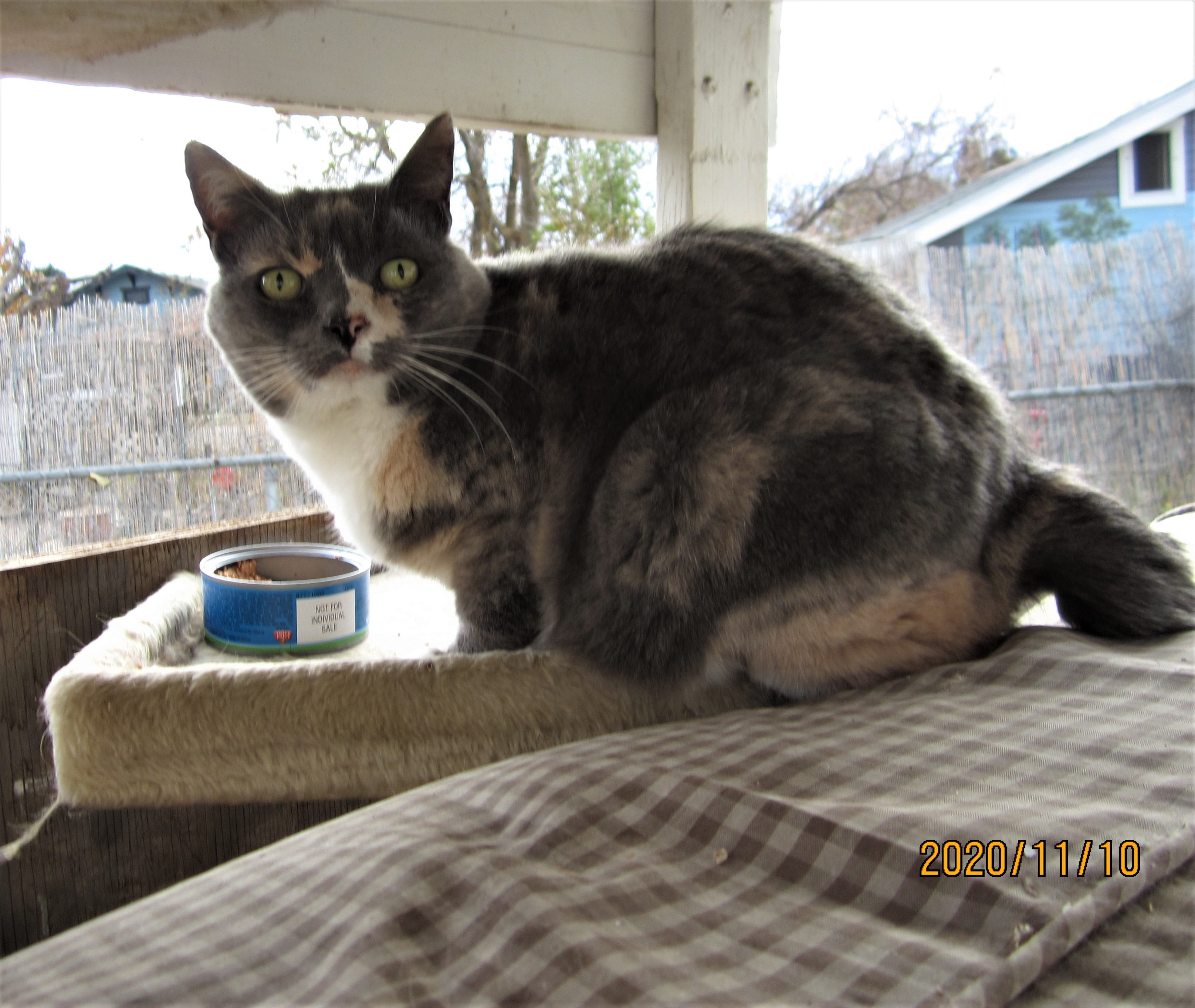 adoptable Cat in Nampa,ID named Puff