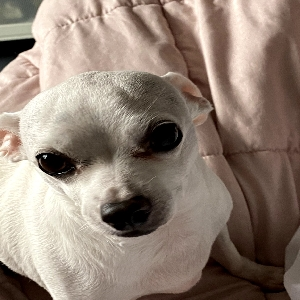 adoptable Dog in Renton, WA named Gilbert