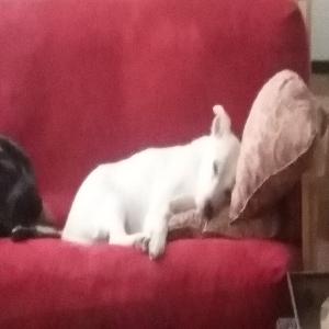adoptable Dog in Everett, WA named Duncan