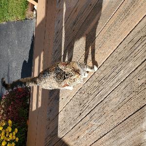 adoptable Cat in Ebensburg, PA named Honey