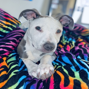 adoptable Dog in Spokane, WA named Dutches