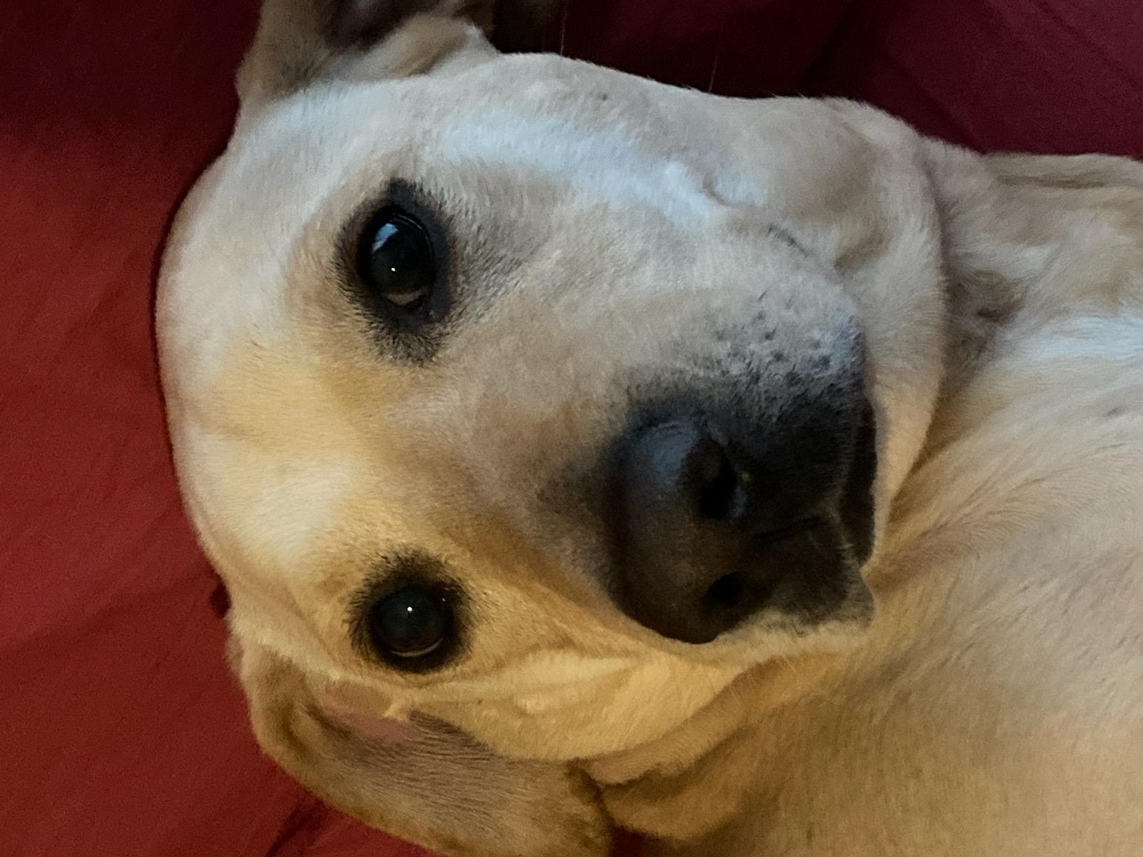 adoptable Dog in Blackfoot,ID named Maizey