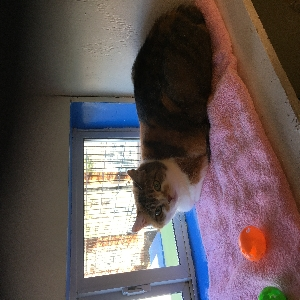 adoptable Cat in Imperial, MO named Callie and Penny