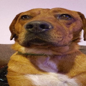 adoptable Dog in Monroe, WA named Guss