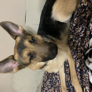 adoptable Dog in , MS named Diesel