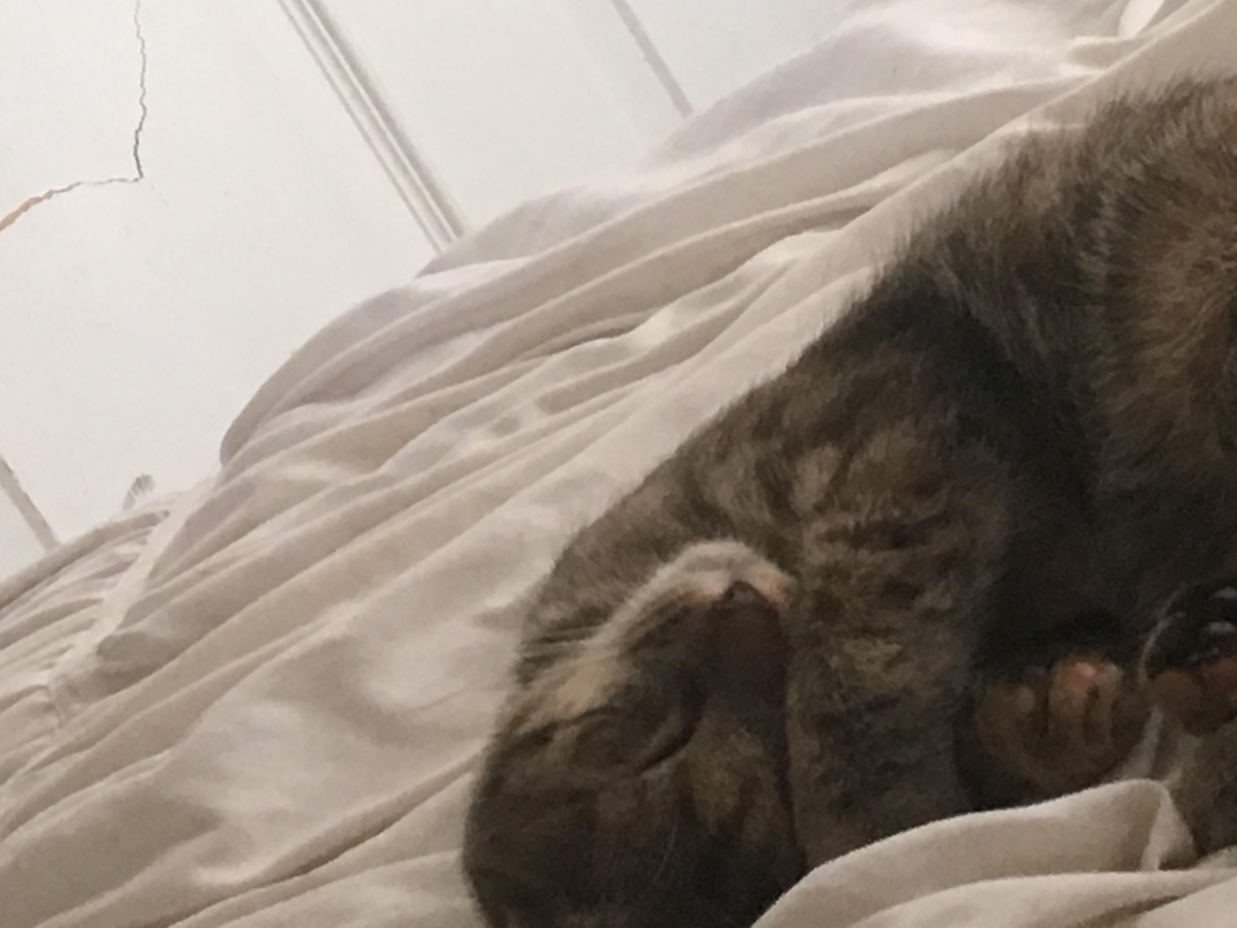 adoptable Cat in Virginia Beach,VA named Ellie