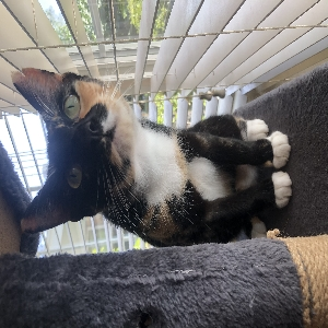 adoptable Cat in , MS named S'mores