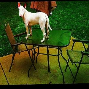 adoptable Dog in O Fallon, MO named Sharlie